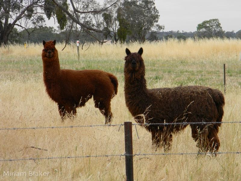 Lamas at Moonambel (800x600)